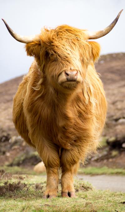 buffel rondreis schotland